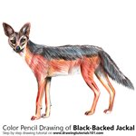 How to Draw a Black-Backed Jackal