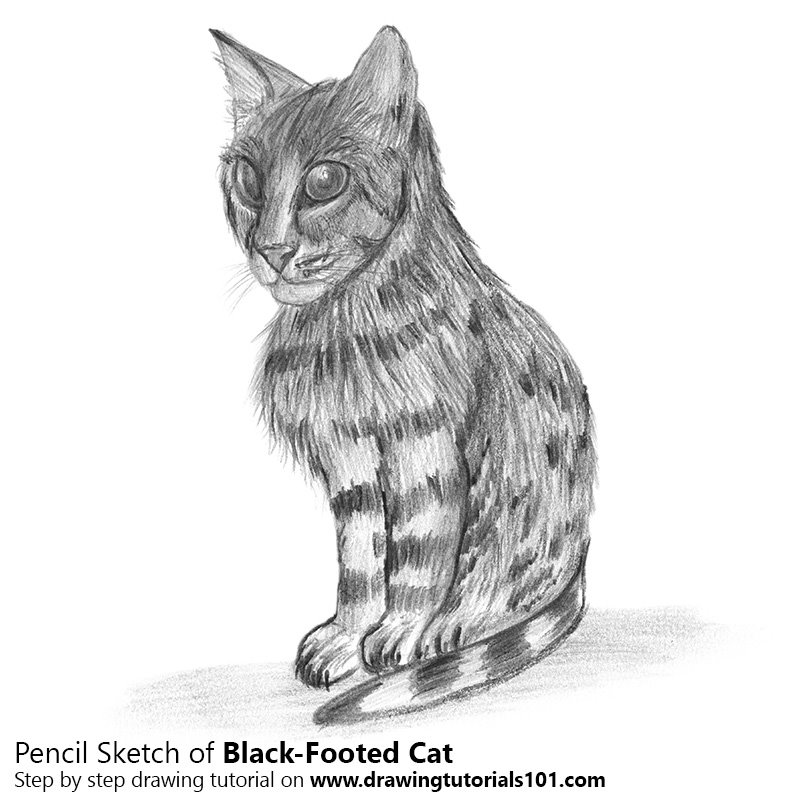Pencil Sketch of Black-Footed Cat - Pencil Drawing
