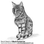 How to Draw a Black-Footed Cat