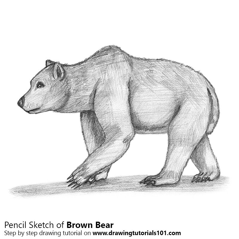 Pencil Sketch of Brown Bear - Pencil Drawing