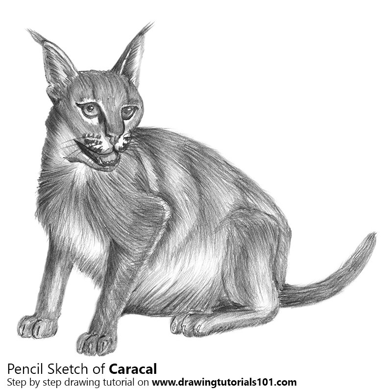 Pencil Sketch of Caracal - Pencil Drawing