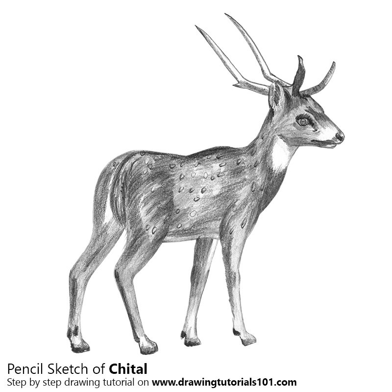Pencil Sketch of Chital - Pencil Drawing