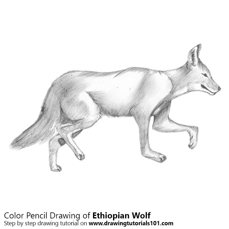 Ethiopian Wolf Color Pencil Drawing