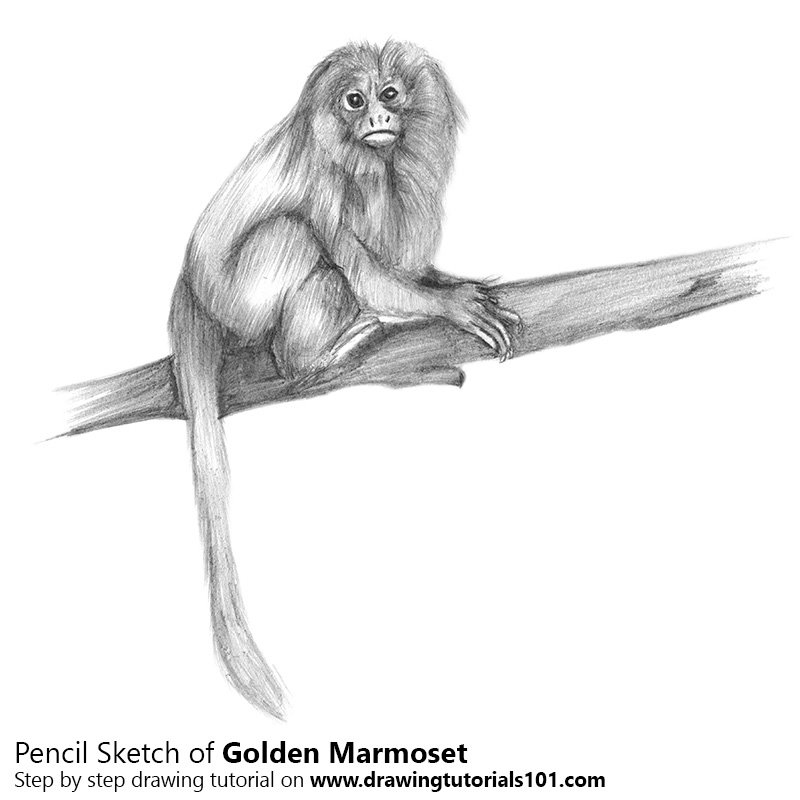 Pencil Sketch of Golden Marmoset - Pencil Drawing