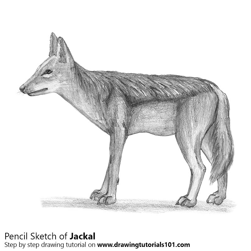 Pencil Sketch of Jackal - Pencil Drawing