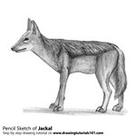 How to Draw a Jackal