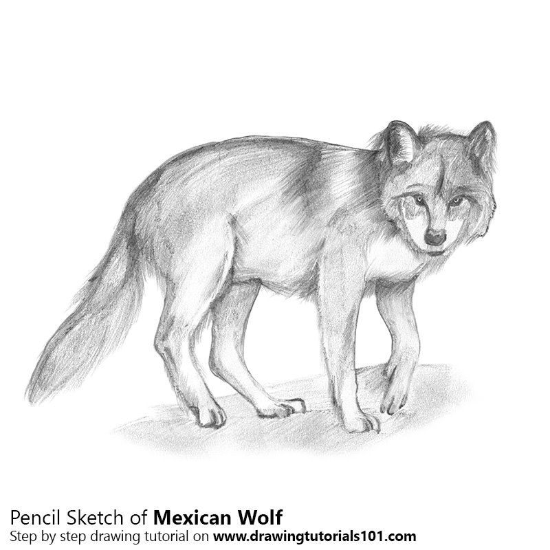 Pencil Sketch of Mexican Wolf - Pencil Drawing