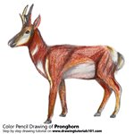 How to Draw a Pronghorn