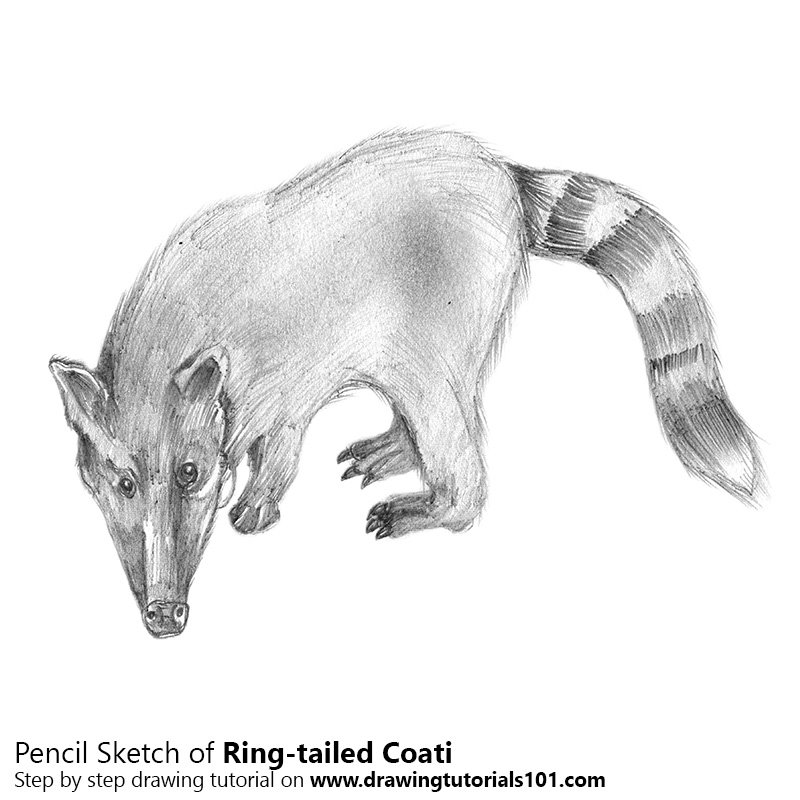 Pencil Sketch of Ring-tailed Coati - Pencil Drawing