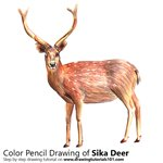 How to Draw a Sika Deer