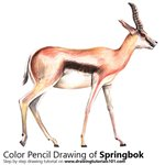 How to Draw a Springbok