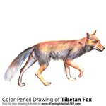 How to Draw a Tibetan Fox