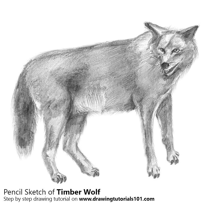 Pencil Sketch of Timber Wolf - Pencil Drawing