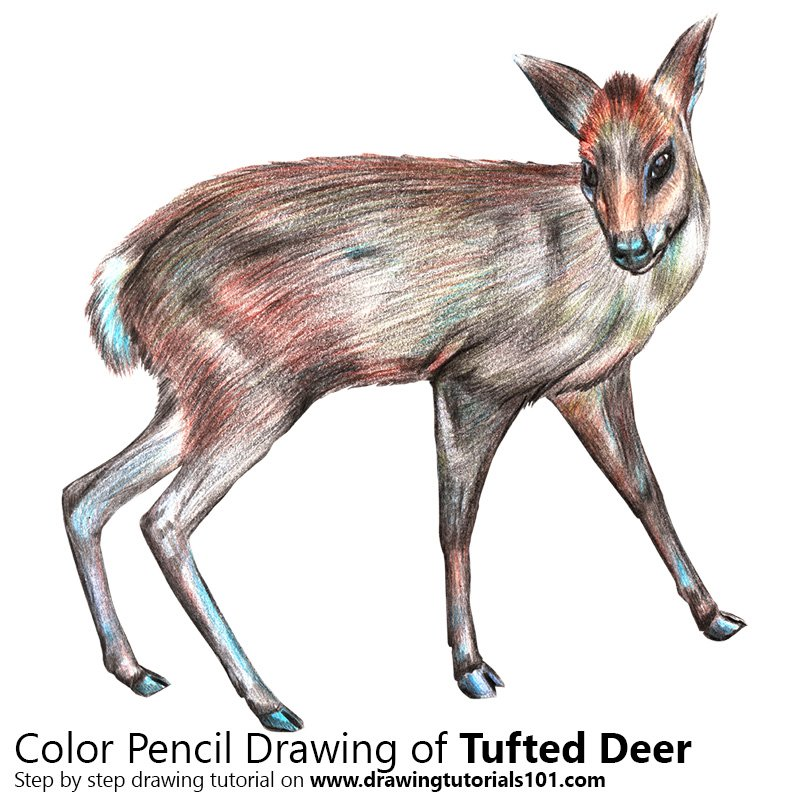 Tufted Deer Color Pencil Drawing