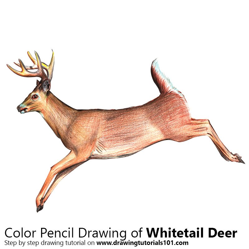 White-tailed Deer Color Pencil Drawing