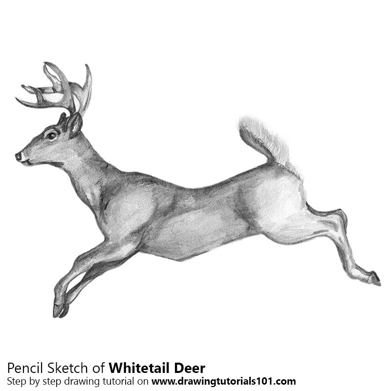 Pencil Sketch of White-tailed Deer - Pencil Drawing