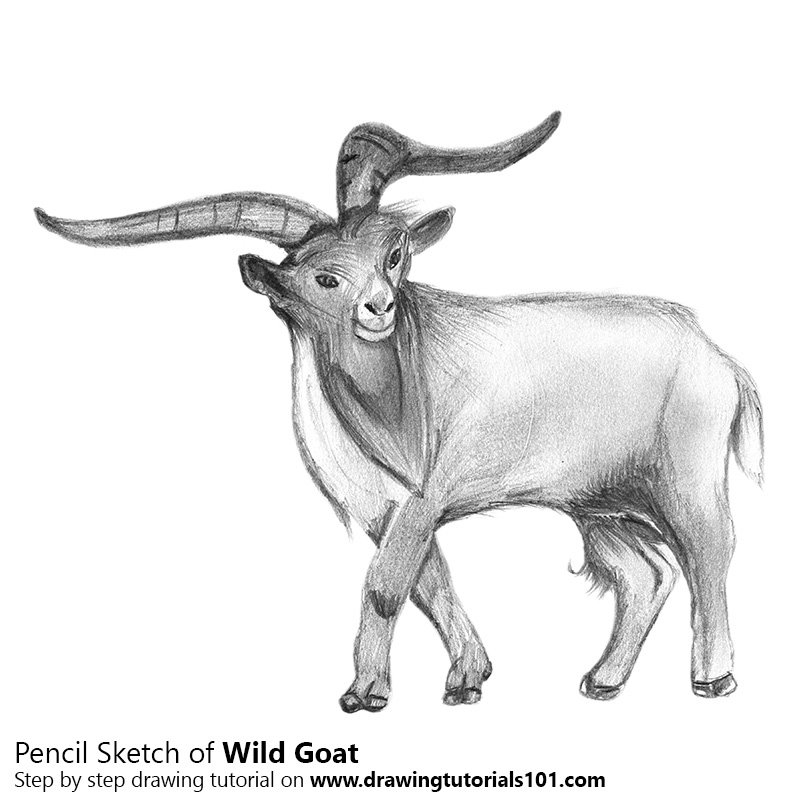 Pencil Sketch of Wild Goat - Pencil Drawing
