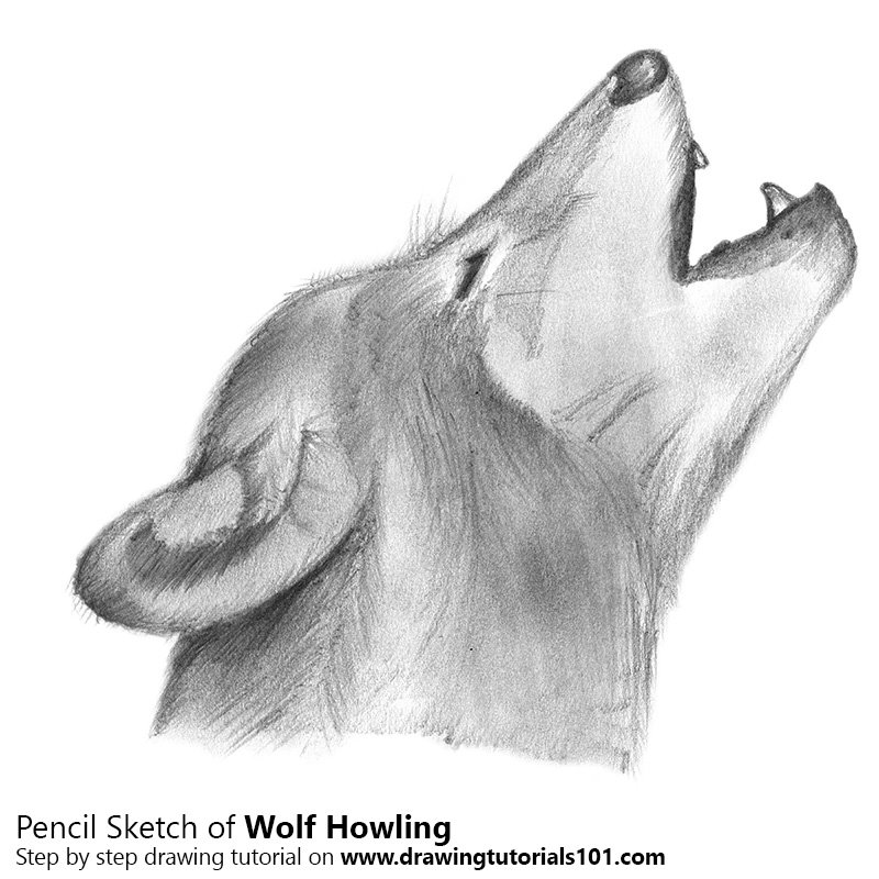 Pencil Sketch of Wolf Howling - Pencil Drawing
