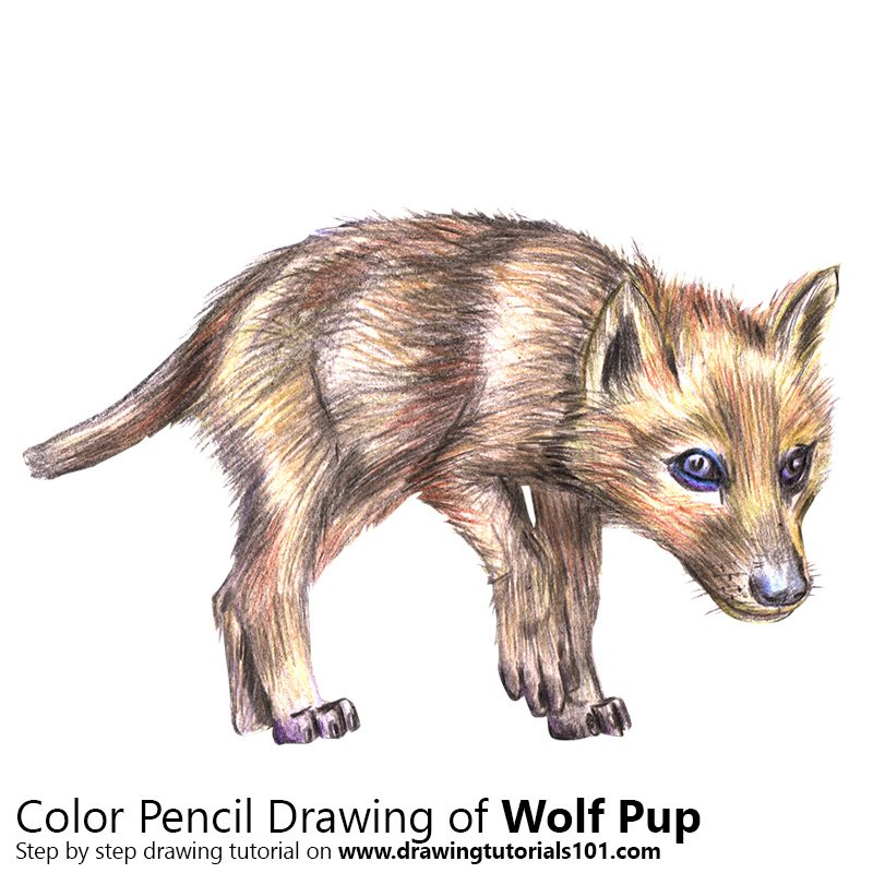 Wolf Pup Color Pencil Drawing