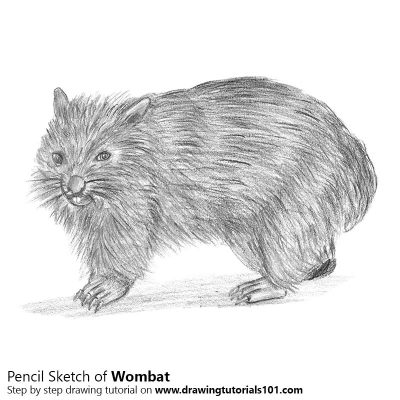 Pencil Sketch of Wombat - Pencil Drawing