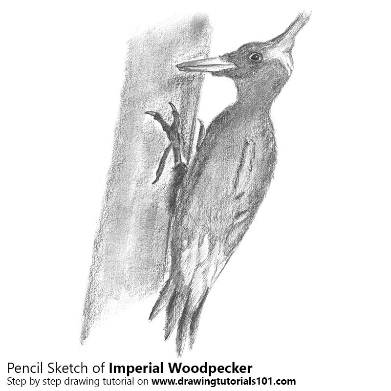 Pencil Sketch of Imperial Woodpecker - Pencil Drawing