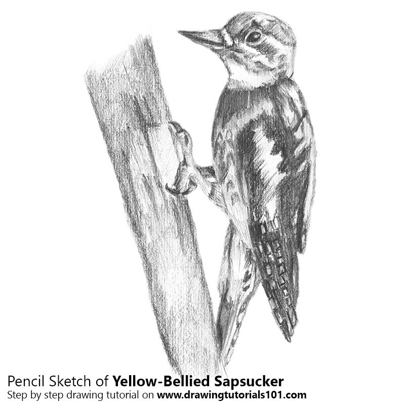 Pencil Sketch of  Yellow-Bellied Sapsucker - Pencil Drawing