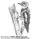 How to Draw a Yellow-Bellied Sapsucker