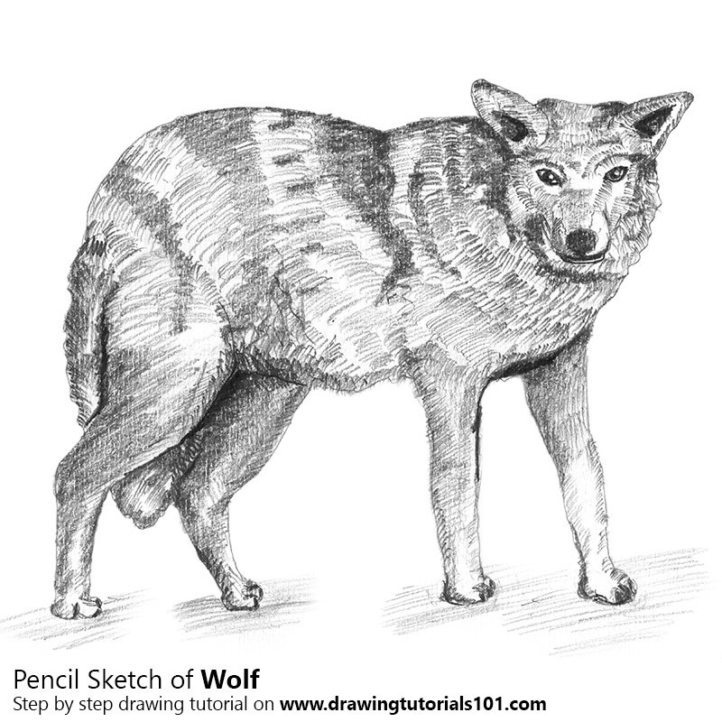 Pencil Sketch of Wolf with Pencils - Pencil Drawing