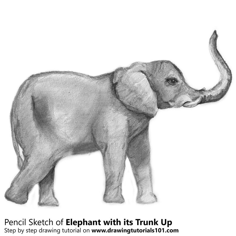 Pencil Sketch of Elephant with its Trunk Up - Pencil Drawing