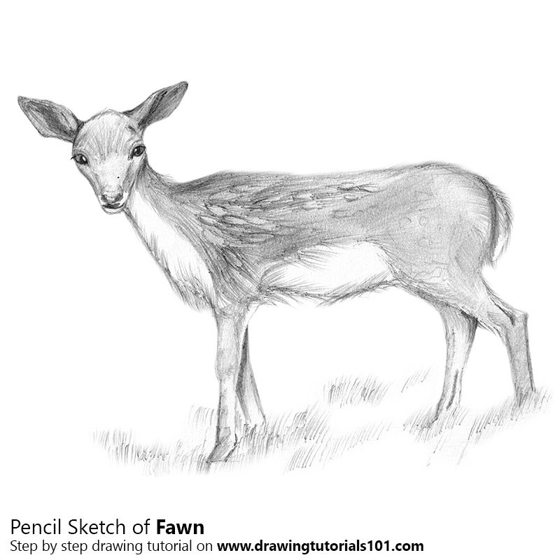 Pencil Sketch of Baby Deer aka Fawn - Pencil Drawing
