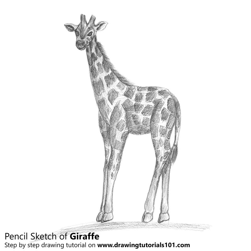 Pencil Sketch of Giraffe - Pencil Drawing