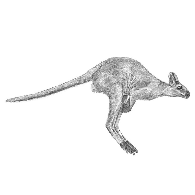 Pencil Sketch of Kangaroo - Pencil Drawing