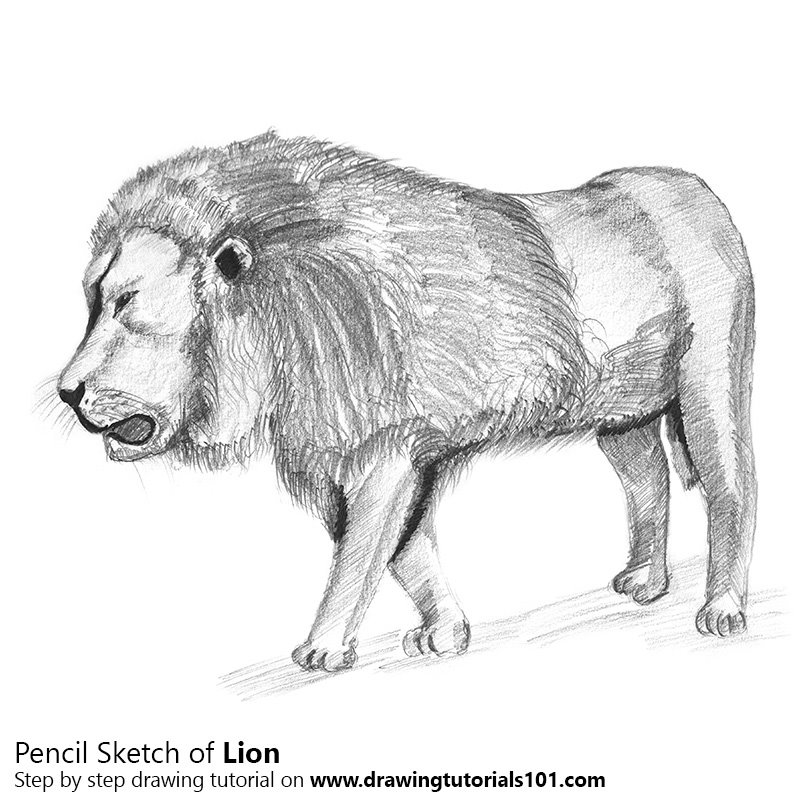 Pencil Sketch of Lion - Pencil Drawing