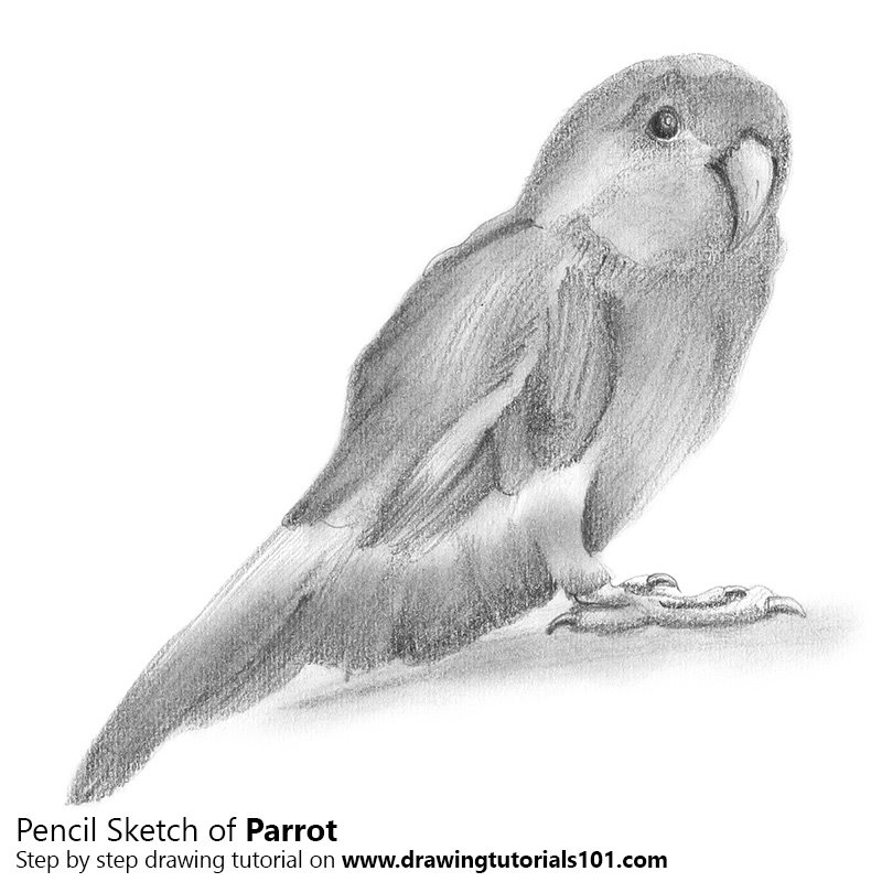 Pencil Sketch of Parrot - Pencil Drawing