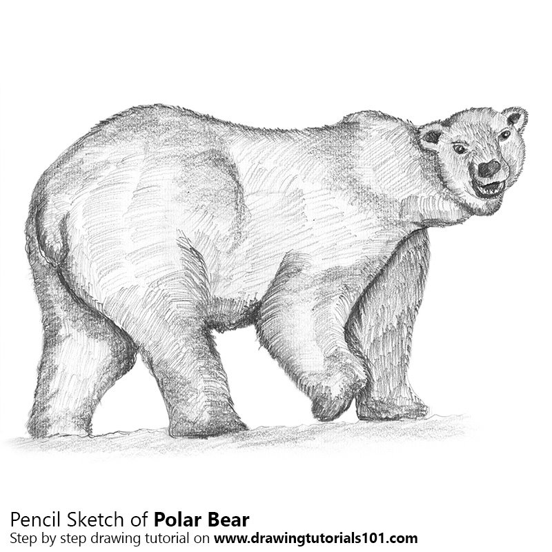 Pencil Sketch of Polar Bear - Pencil Drawing