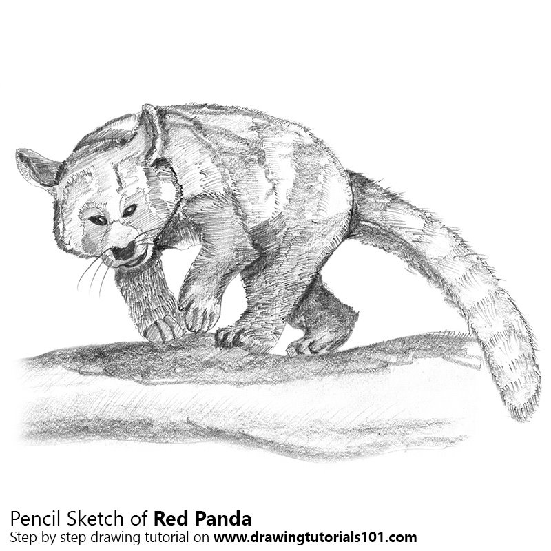 Pencil Sketch of Red Panda - Pencil Drawing