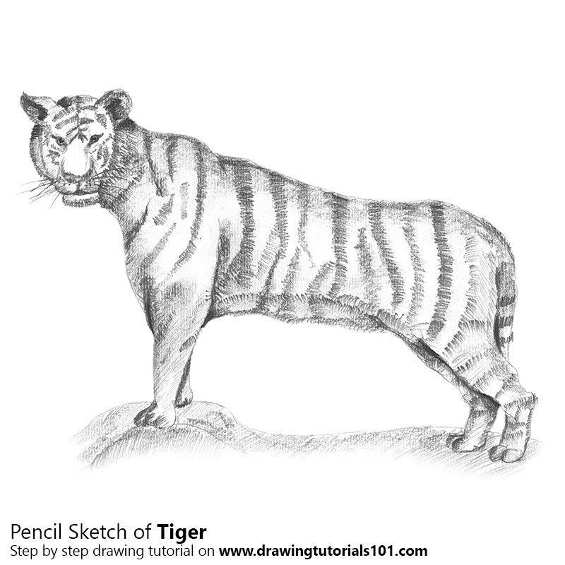 Pencil Sketch of Tiger - Pencil Drawing