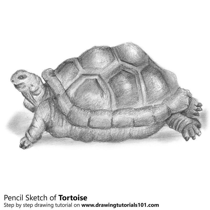 Pencil Sketch of Tortoise - Pencil Drawing