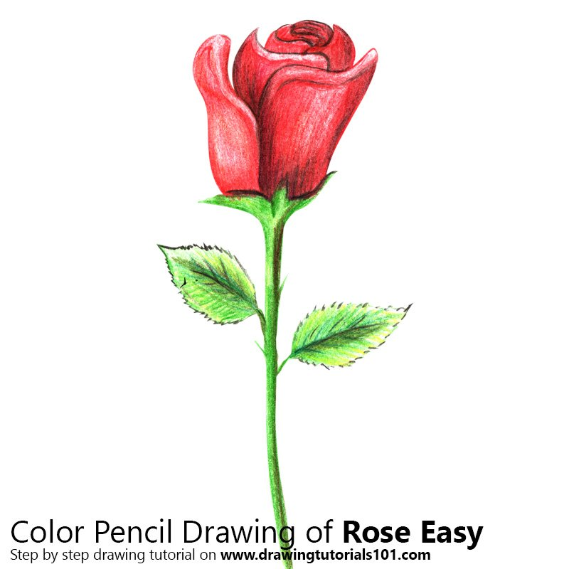 Rose Easy Color Pencil Drawing